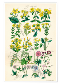 Poster  Fleurs sauvages Fig. 240-260 - Sowerby Collection