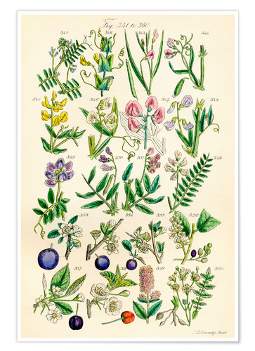 Poster Fleurs sauvages Fig. 341-360