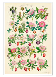 Poster  Fleurs sauvages Fig. 401-420 - Sowerby Collection