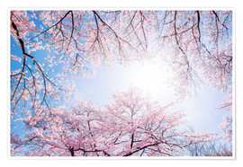 Poster  pink cherry blossom in spring with backlight and blue sky - Jan Christopher Becke