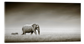 Tableau en verre acrylique  Elephant walking past zebra size comparison - Johan Swanepoel