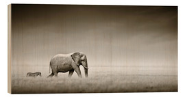 Bois  Elephant walking past zebra size comparison - Johan Swanepoel