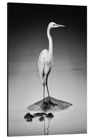 Tableau en aluminium  Great white Egret perched on Hippo - Johan Swanepoel