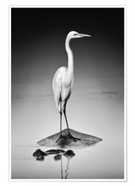 Poster  Great white Egret perched on Hippo - Johan Swanepoel
