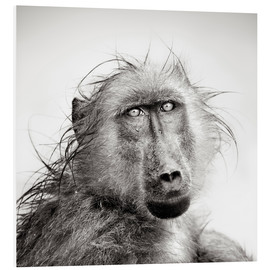 Tableau en PVC  Wet Baboon portrait in the rain - Johan Swanepoel