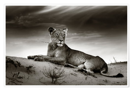 Poster  Lioness resting on top of a sand dune - Johan Swanepoel