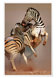 Poster  Two Stallions fighting and biting with raised legs - Johan Swanepoel
