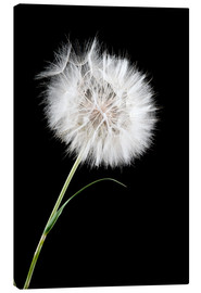 Toile  the big white dandelion