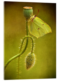 Tableau en verre acrylique  Yellow butterfly on poppy head - Jaroslaw Blaminsky
