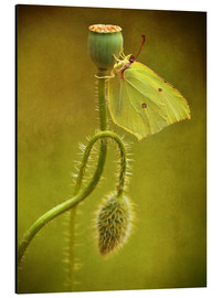 Tableau en aluminium  Yellow butterfly on poppy head - Jaroslaw Blaminsky