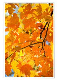 Poster  Autumnal maple leaves