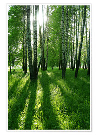 Poster  birch trees with long shadows