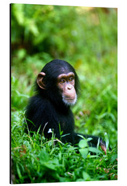 Alu-Dibond  Chimpanzee in the jungle