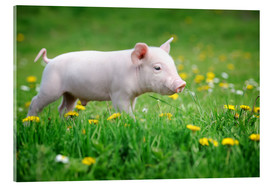 Verre acrylique  Piglets on a spring meadow