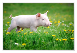 Poster  Piglets on a spring meadow