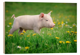 Bois  Piglets on a spring meadow