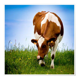 Poster Cow on pasture