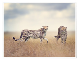 Poster  Cheetahs on the hunt