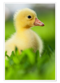Poster  Cute duckling