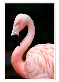 Poster  Flamant rose