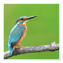 Poster  Kingfisher Portrait