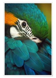 Poster  Parrot in plumage