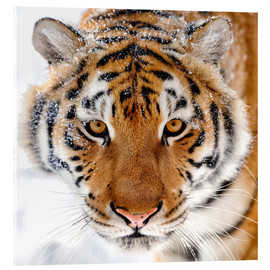 Verre acrylique  Siberian tiger in the snow