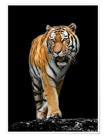 Poster  male Tiger