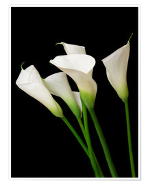 Poster  Calla lilies