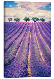 Tableau sur toile  Lavender field with trees in Provence, France