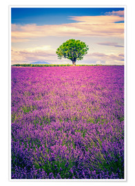 Poster  Lavender field with tree in Provence, France