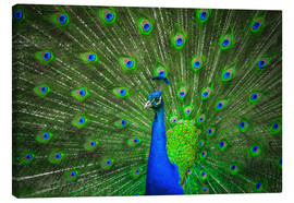 Tableau sur toile  beautiful peacock with feathers