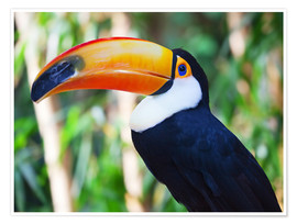 Poster  Giant toucan in Brazil