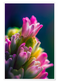 Poster  Hyacinth against blue background - MUXPIX