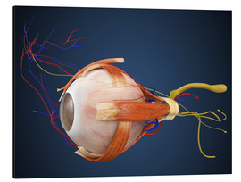 Tableau en aluminium  Human eye with muscles and circulatory system.