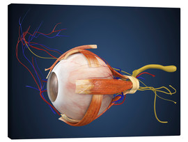 Tableau sur toile  Human eye with muscles and circulatory system.