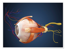 Poster  Human eye with muscles and circulatory system.