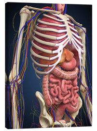 Toile  Human midsection with internal organs.
