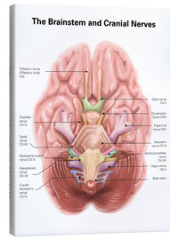 Toile  Anatomy of human brain stem and cranial nerves. - Alan Gesek
