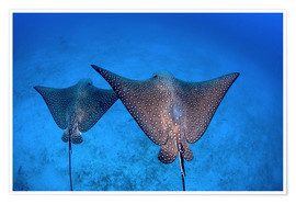 Poster  Spotted eagle rays - Ethan Daniels