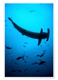 Poster  A scalloped hammerhead shark swims near Cocos Island, Costa Rica. - Ethan Daniels