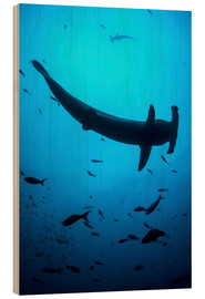 Tableau en bois  A scalloped hammerhead shark swims near Cocos Island, Costa Rica. - Ethan Daniels