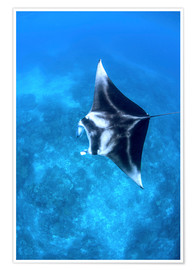 Poster  A large reef manta ray swims through clear water in Raja Ampat. - Ethan Daniels