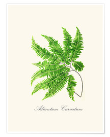 Poster  ferns6 - Patruschka