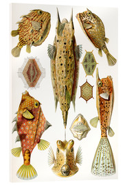 Verre acrylique  Ostraciontes cowfish species - Ernst Haeckel