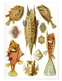 Ernst Haeckel - Ostraciontes cowfish species