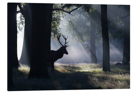 Tableau en aluminium  Stag in the morning light - Alex Saberi