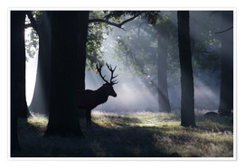 Poster Stag in the morning light