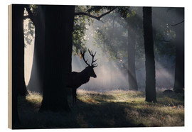 Bois  Stag in the morning light - Alex Saberi