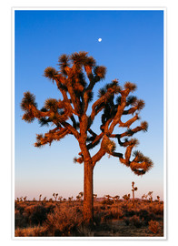 Poster  Un arbre dans le parc national de Joshua Tree, Californie, USA - Matteo Colombo